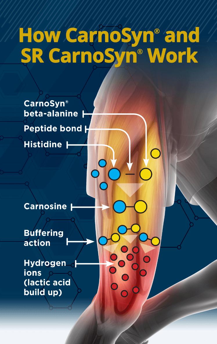 how carnosyn and sr carnosyn works with carnosine